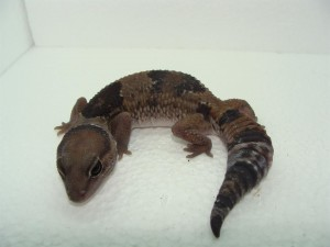 Un gran lagarto