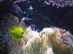 Postal: Peces payaso y otros peces tropicales en un gran acuario