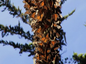 Un gran número de mariposas monarca sobre un tronco