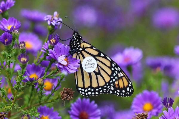 Mariposa monarca con una etiqueta se seguimiento