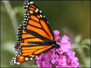 Mariposa monarca con la trompa extendida en una pequeña flor rosa