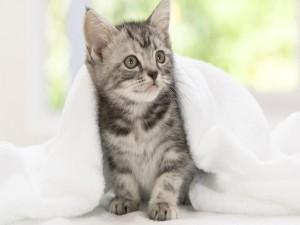 Postal: Toalla blanca sobre un pequeño gato