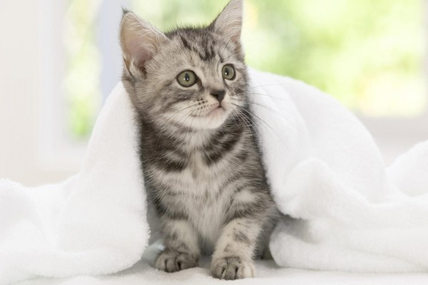 Toalla blanca sobre un pequeño gato