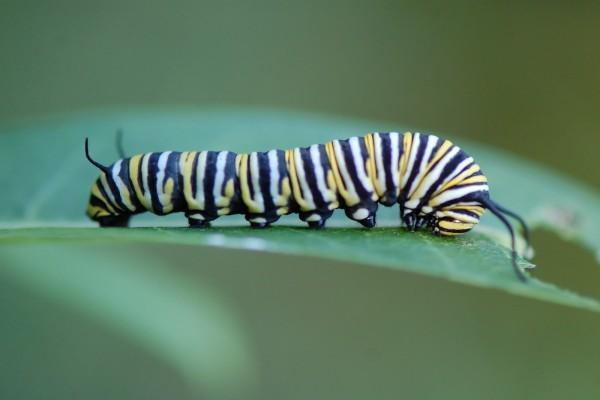 Oruga monarca caminando sobre una hoja