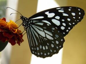 Postal: Mariposa monarca de Hawái