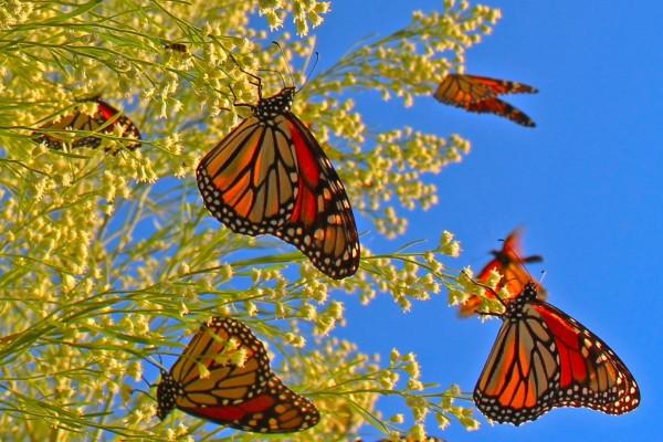 Mariposas monarca posadas en las ramas con pequeñas flores amarillas
