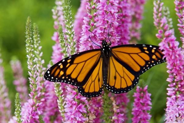 Mariposa monarca libando en un campo de plantas verónica
