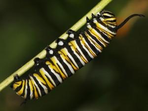 Oruga monarca fabricando la crisálida