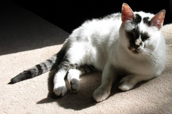 La luz del sol sobre un gato tumbado en una alfombra