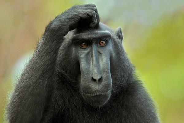 Un mono rascándose la cabeza