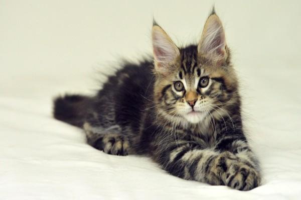 Un hermoso gato con orejas puntiagudas