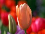 Un tulipán color salmón