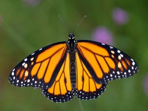 Postal: Las alas de una mariposa monarca