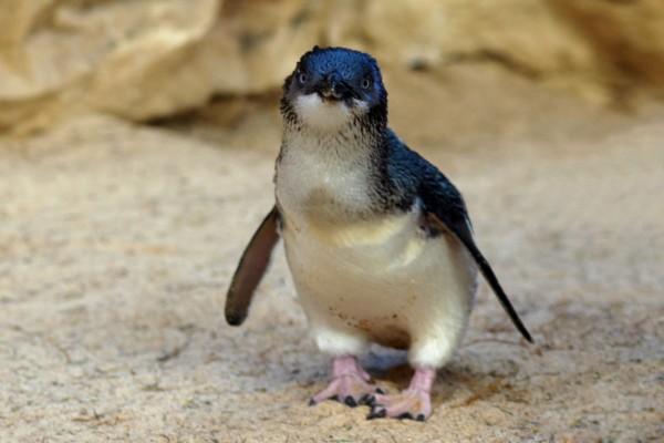 Pingüino azul