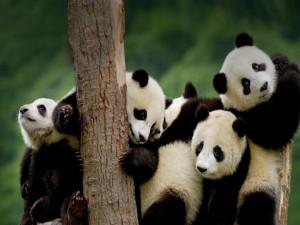 Postal: Aforo de osos panda sobre la plataforma