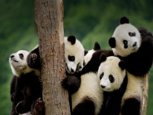 Aforo de osos panda sobre la plataforma