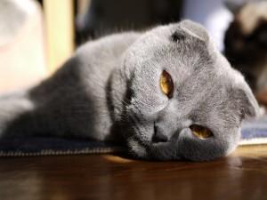 Postal: Ojos color ámbar de un gato gris
