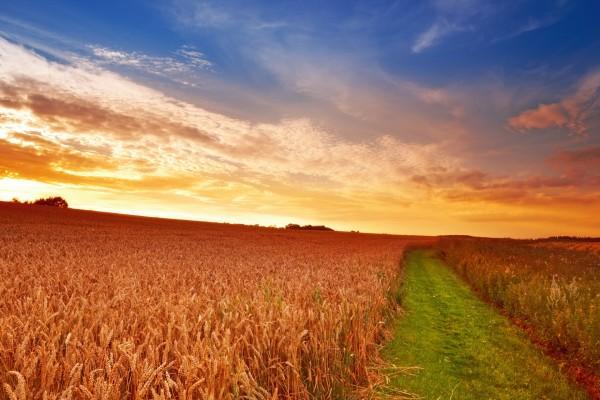Camino verde en un campo de trigo