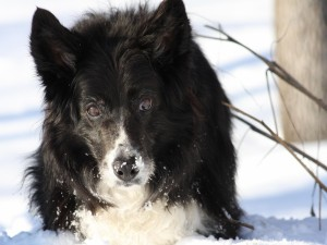 Postal: Border Collie en la nieve