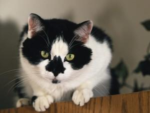 Un hermoso gato blanco con el hocico negro