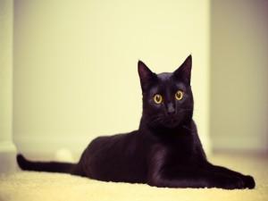 Postal: Un hermoso gato negro con los ojos de color naranja