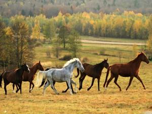 Hermosos caballos corriendo en otoño