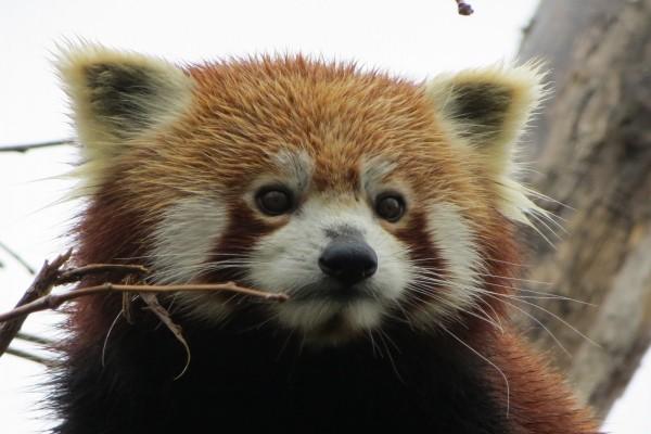 La simpática cara de un panda rojo