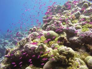 Pequeños peces de color lila en el arrecife