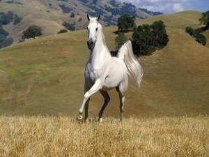 Caballo blanco en el campo