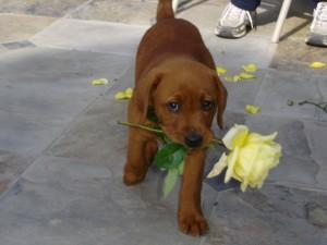 Perro marrón con una rosa en la boca