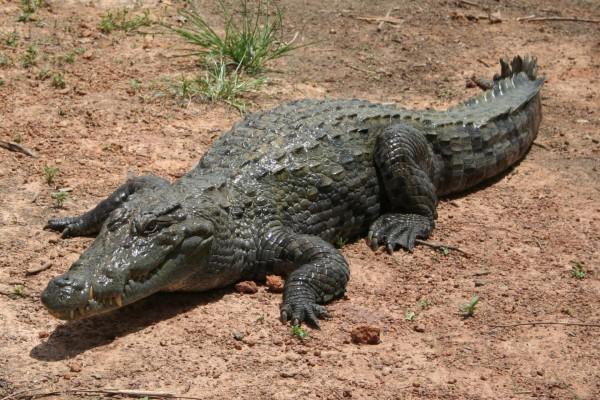 Gran cocodrilo sobre la arena