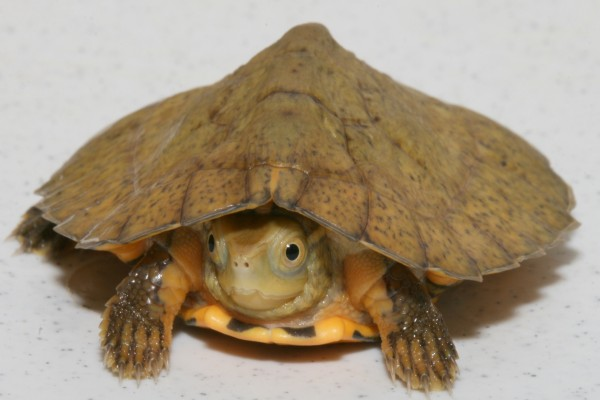 Una pequeña tortuga con la cabeza escondida