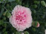 Un bello clavel rosa