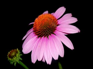 Margarita con pétalos color lila