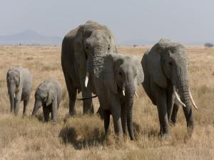 Elefantes jóvenes y adultos