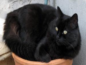 Bello gato negro sobre una maceta
