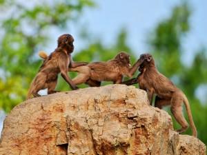 Monos peleando