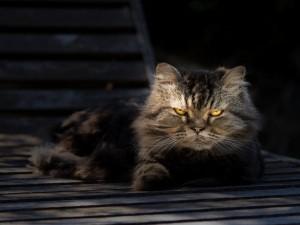 Gato con ojos amarillos mirando fijamente