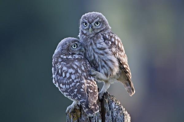 Una pareja de mochuelos