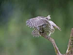 Mochuelos protegiéndose de la lluvia