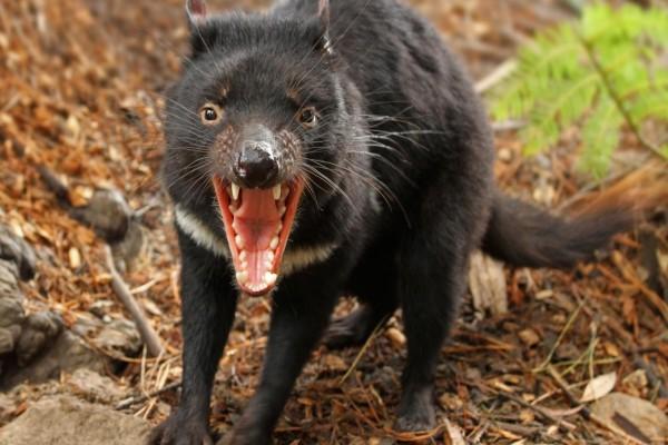 Demonio de Tasmania enojado