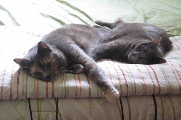 Dos gatos grises tumbados