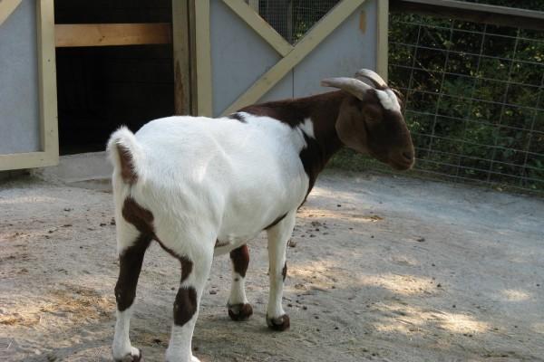 Una cabra marrón y blanca