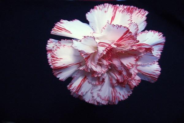Un clavel jaspeado