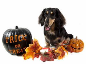 Postal: Un perro junto a calabazas de Halloween