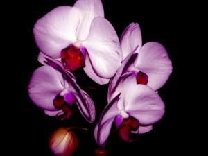 Flores de orquídea