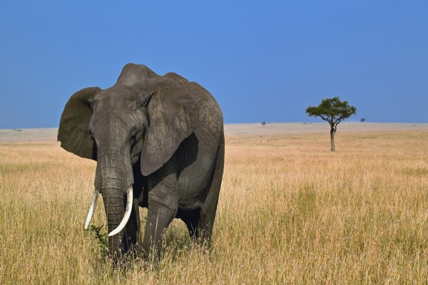 Un gran elefante africano