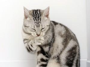 Postal: Un simpático gato gris
