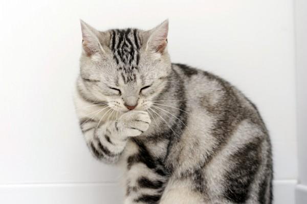 Un simpático gato gris