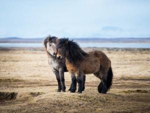 Postal: Dos caballos islandeses